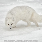 Arctic Fox by Michael Windle, Smethwick