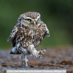 Little Owl Walking by Austin Thomas, Wigan 10