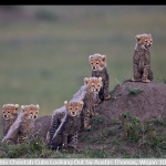 Six Cheetah Cubs Looking Out by Austin Thomas, Wigan 10