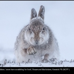 8032_Rosamund Macfarlane_snow hare scrabbling for food