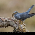 8044_John Webster_cuckoo feeding
