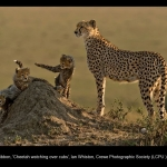 8621_Ian Whiston_Cheetah watching over cubs