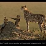 8621_Ian Whiston_Cheetah watching over cubs