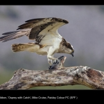 8846_Mike Cruise_Osprey with Catch