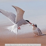 Arctic Tern Feeding Chick by Paul Keene