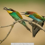 Bee-eaters by Tim Munsey