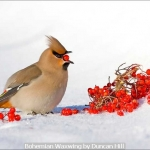 Bohemian Waxwing by Duncan Hill