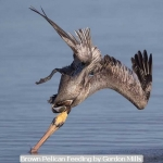 Brown Pelican Feeding by Gordon Mills