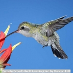 Female Broadbilled Hummingbird by Duncan Hill
