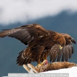 Golden Eagle on Hare by Gordon Follows