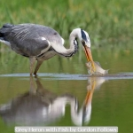 Grey Heron with Fish by Gordon Follows