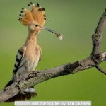 Hoopoe and the Spider by Tim Munsey