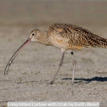 Long-billed Curlew with Crab by Keith Wood