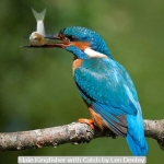 Male Kingfisher with Catch by Len Deeley