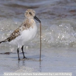 Sanderling Catches Sandworm by Lee Kitching