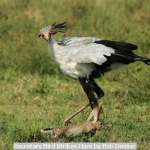 Secretary Bird Strikes Hare by Bob Devine