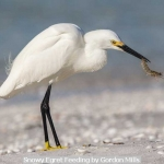 Snowy Egret Feeding by Gordon Mills