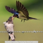 Swallow Feeding Young by Chris Robbins