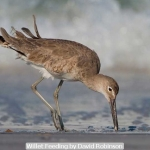 Willet Feeding by David Robinson