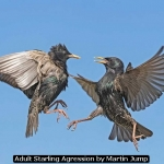 Adult Starling Agression by Martin Jump
