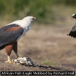 African Fish Eagle Mobbed by Richard Hall
