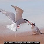 Artic Tern Feeding Chick by Paul Keene