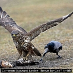 Common Buzzard Under Threat by Geiff Smith