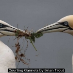 Courting Gannets by Brian Trout