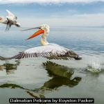 Dalmatian Pelicans by Royston Packer