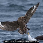 Great Skua attacking Gull