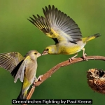 Greenfinches Fighting by Paul Keene