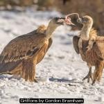 Griffons by Gordon Bramham