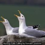 Herring Gulls calling