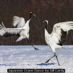 Japanese Crane Dance by Gill Cardy