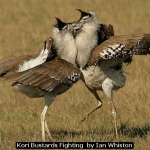 Kori Bustards Fighting  by Ian Whiston