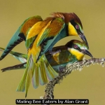 Mating Bee Eaters by Alan Grant