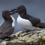 Razorbill interaction