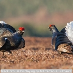 Black Grouse Displaying by Bill Terrance, Kilmaurs