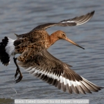 Black Tailed Godwit by Ed Roper, Wigan10