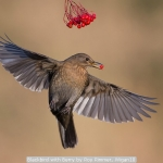 Blackbird with Berry by Roy Rimmer, Wigan10