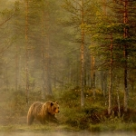 European Brown Bear by Nigel Spencer, Leicester Forest
