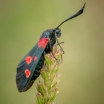 Five Spot Burnet Moth by Christine Widdall, Wigan10