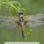 Four Spotted Chaser by Chris Hague, Wigan10