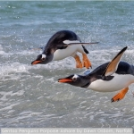 Gentoo Penguins Porpoise Ashore by Dawn Osborn, Norfolk