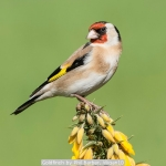 Goldfinch by Phil Barber, Wigan10
