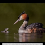 Great Crested Grebe with Chick by Austin Thomas, Wigan10