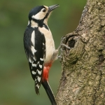 Great Spotted Woodpecker Female by Christine Widdall, Wigan10
