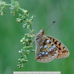 High Brown Fritillary 141 by Chris Hague, Wigan10