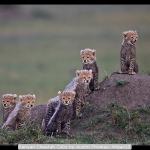 Kenyan Cheetah Cubs by Austin Thomas, Wigan10