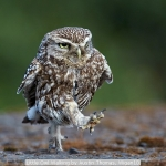 Little Owl Walking by Austin Thomas, Wigan10